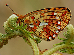 Pearl-bordered Fritillary - Photograph by Jim Asher
