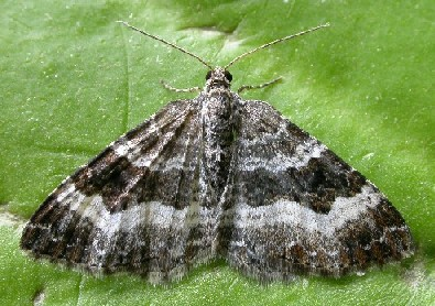 Moths By Month East Scotland Branch Butterfly